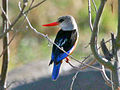 Grey-headed Kingfisher RWD2.jpg