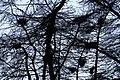 Grey Heron nests by Spynie Loch. - geograph.org.uk - 382993.jpg