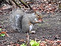 Grey Squirrel (30340103946).jpg
