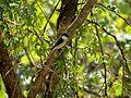 Grey bush chat bird.jpg