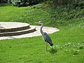 Grey heron in front of Peter Pan Statue (Hyde Park) - panoramio.jpg