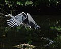Grey heron taking off! (9663168500).jpg