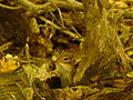 Griffy Woods - chipmunk - P1100474.JPG