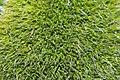 Grimmia alpestris (a, 113335-471123) 1452.JPG