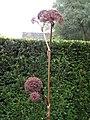 Grote engelwortel (Angelica archangelica) - Tuinen van Mien Ruis - Dedemsvaart (september 2011).jpg