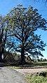 Grupa drzew, 4. dębów i 1. lipy na skraju lasu prudnickiego, Prudnik 2018.10.31 (01).jpg
