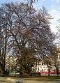 GuentherZ Naturdenkmal 562 2010-03-23 0168 Wien01 Rathauspark Geschlitztblaettrige Rotbuche.jpg