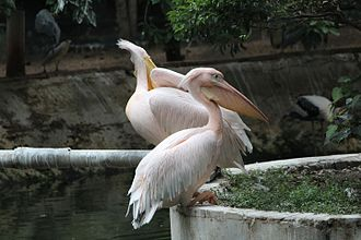 Guindy National Park - Rosy Pelican at Guindy national park