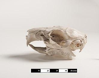 Guinea pig - Skull of a guinea pig
