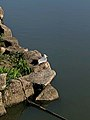 Gull resting on the rock along the pond - 1.jpg