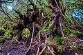 Gunung Irau (The Mossy Forest) (25580843094).jpg