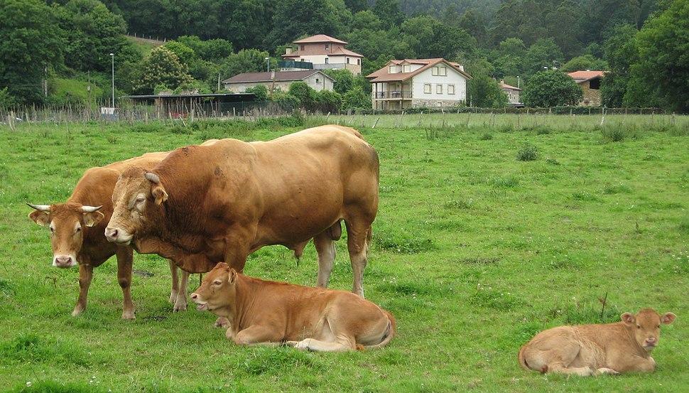 Guriezo Adino vaca toro terneras
