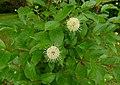 Guzikowiec zachodni (Cephalanthus occidentalis ) 01.jpg