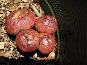 Gymnopilus - Gymnopilus luteofolius