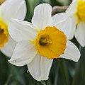 Híbrida de Narcissus 'Barrett Browning', Jardín Botánico de Múnich, Alemania, 2013-05-04, DD 03.jpg
