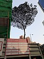 HK CWB 銅鑼灣 Causeway Bay 摩頓台 Moreton Terrace tree construction site April 2021 SS2 02.jpg