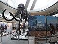 HK Central IFC mall exhibition 01 長毛象 Mammoth bones April-2012 象牙 Ivoy.JPG