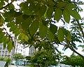 HK Spathodea Leaf.jpg