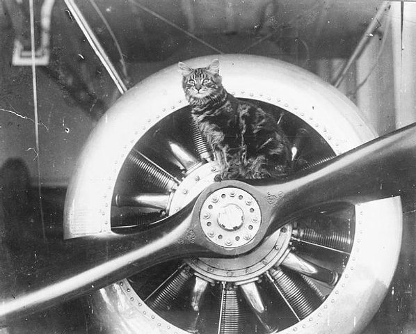 English: From IWM caption : 'Pincher', the mascot of HMS VINDEX is ...