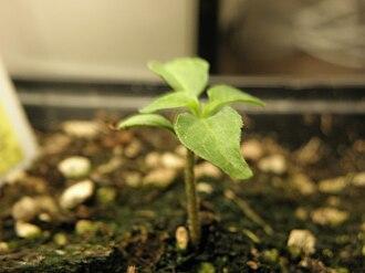 Habanero - Image: Habanero Seedling