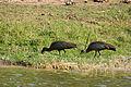 Hadeda ibis - Queen Elizabeth National Park, Uganda.jpg