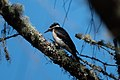 Hairy Woodpecker Five Brooks Marin CA 2019-03-13 12-04-27 (48265862927).jpg