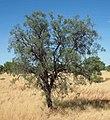 Hakea divaricata tree.jpg