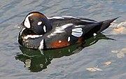 Halequin duck.jpg