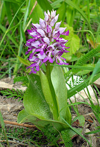 Hall käpp (Military Orchid, orchis militaris).jpg