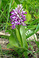 Hall käpp (Military Orchid, orchis militaris).jpg