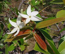 Hancornia speciosa.jpg
