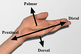 Dela palma de partes mano la