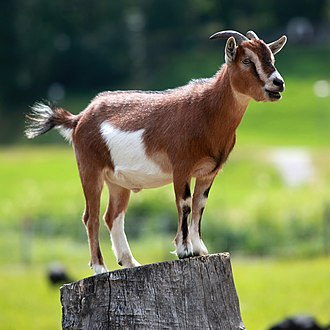 Goat - A pygmy goat on a stump.