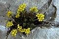Hautes-Alpes Arvieux Col Du Lauzon Fleurs 071986 - panoramio (4).jpg