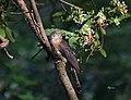 Hawk Cuckoo (On Bangal ).jpg