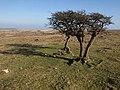 Hawthorns south of Combestone Tor - geograph.org.uk - 1218641.jpg