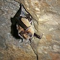 Healthy big brown bat (6976166267) B.jpg