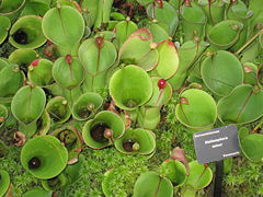 Heliamphora minor - Atlanta Botanical Garden.JPG