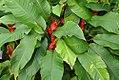 Heliconia stricta Jamaican Dwarf 2zz.jpg