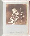 Heliophila MET DP202238.jpg