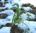 Helleborus viridis ENBLA15.jpg