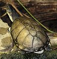 Helmeted Turtle 045.jpg