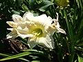 Hemerocallis Joan Senior.jpg