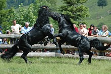 Horse behavior - Wikipedia