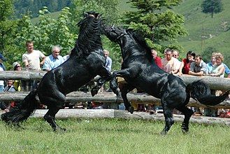 Horse behavior - Fights for dominance are normally brief; sometimes, displays which do not involve physical contact are sufficient to maintain the hierarchy.