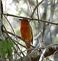 Hepatic Tanager. Piranga flava - Flickr - gailhampshire.jpg