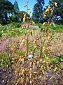 Heuchera americana 2007-06-02 (flower).jpg