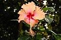 Hibiscus Madeline Champion.jpg