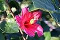 Hibiscus boryanus 0zz.jpg