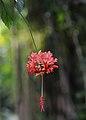 Hibiscus schizopetalus Nice Phoenix.jpg